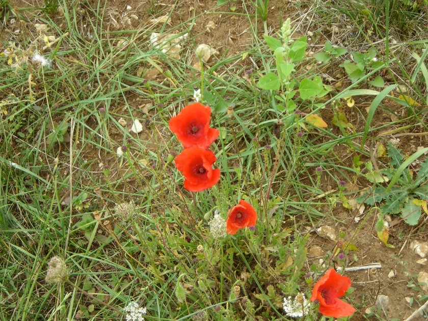 RED POPPIES IN FLANDERS 2006